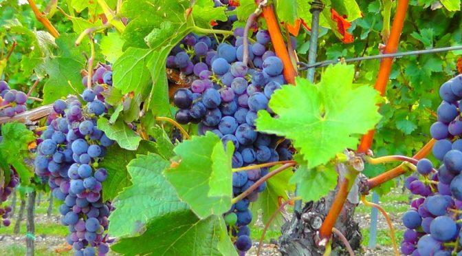 Festa del Mosto Rosolini vino uva