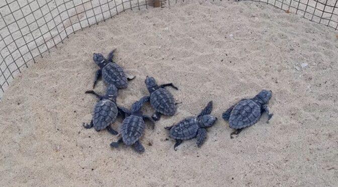 tartarughe caretta caretta sulla spiaggia della Guitgia a Lampedusa