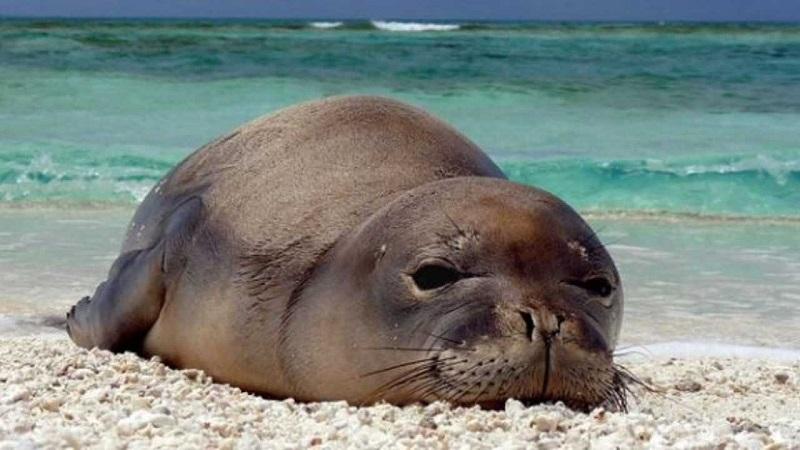 A Lampedusa torna la foca monaca: il mammifero avvistato nel mare delle Pelagie